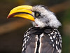 Close-up of an Eastern Yellow-billed Hornbill (Tockus flavirostris); native to Africa.
