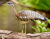 Sunbittern (Eurypyga helias); native to the tropical regions of the Americas, at the St. Augustine Alligator Farm.