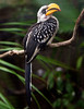 Eastern Yellow-billed Hornbill (Tockus flavirostris); native to Africa.
