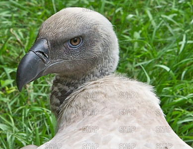 Cape Griffon Vulture