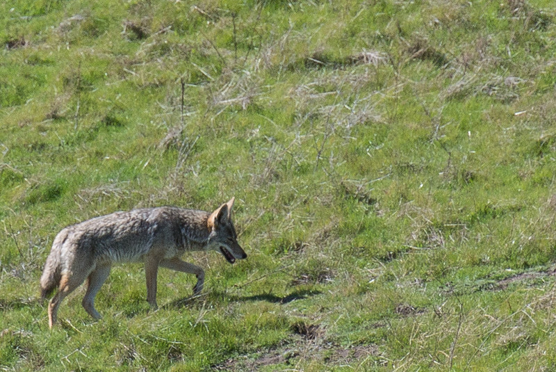 An unconcerned coyote in our nearby regional park