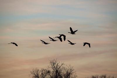 Geese sky 8963