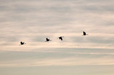 Cranes silhouette 8929