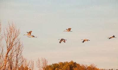 Cranes 8919