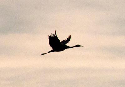 Cranes silhouette single 8929
