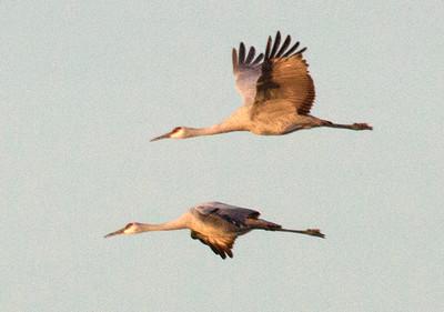 Cranes close 8920