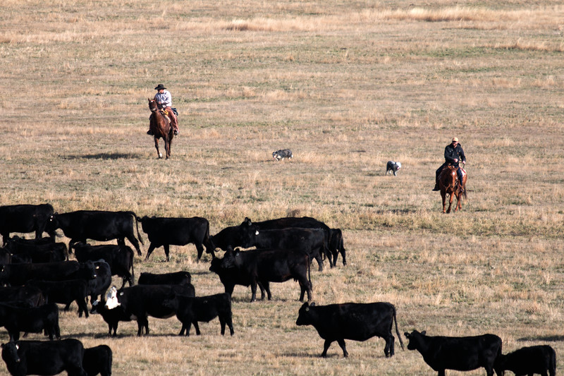 Matthew Gaston | The Sheridan Press<br>Ray Stoltz, left and Peter Guerico, right, along with two herding dogs prevent cows and calves from straying away from the larger herd Thursday, Oct. 25, 2018.