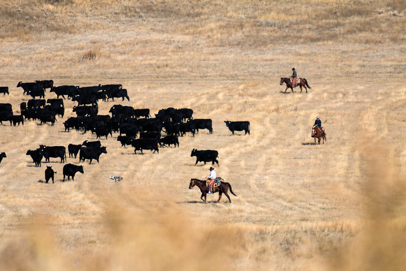 Matthew Gaston | The Sheridan Press<br>Ranch manager Ray Stoltz, foreground, along with Will Klaahsen and Chase Stoltz herd cattle toward a sorting pen Thursday, Oct. 25, 2018.