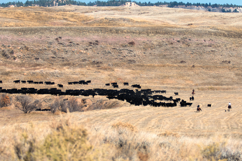Matthew Gaston | The Sheridan Press<br>The cowboys at the OW Ranch, as a team, drive the herd into a narrow track that leads to a trap pen Thursday, Oct. 25, 2018.