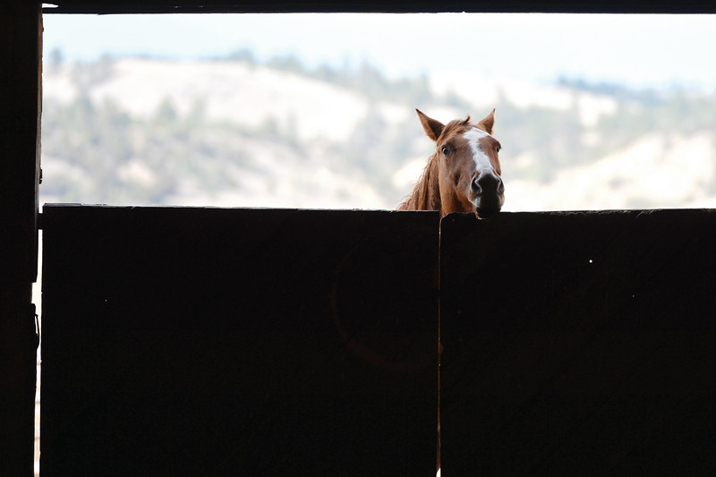 Matthew Gaston | The Sheridan Press<br>A horse peeks into the barn to see what all the comotion is about at the OW Ranch Thursday, Oct. 27, 2018.