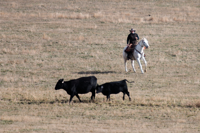 Matthew Gaston | The Sheridan Press<br>Melissa Forrette chases down a couple of strays and guides them back to the herd Thursday, Oct. 25, 2018.