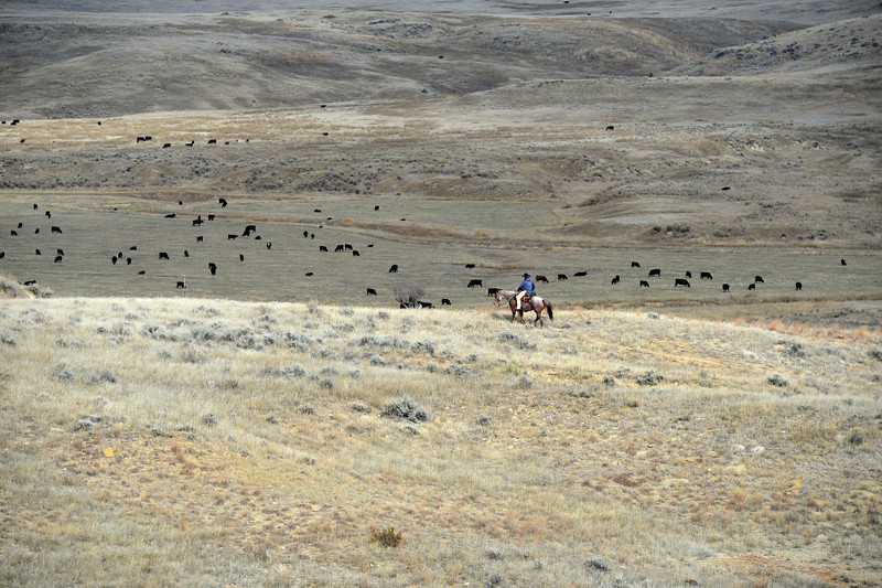 Matthew Gaston | The Sheridan Press<br>Kayla Marchant flanks one side of the herd during a round up Thursday, Oct. 25, 2018 on the OW Ranch.