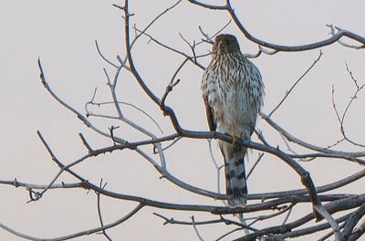 Hawk? 04512