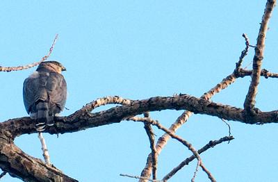 Hawk back 04515