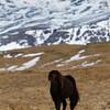Islandic horse