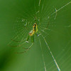 Orchard Orb-weaver female and web