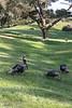 Bandon Wild Turkeys - Vertical