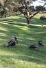 Bandon Wild Turkeys - Vertical