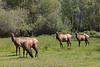 Roosevelt Elk Looking Toward Me near Orick, CA