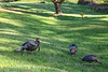 Bandon Wild Turkeys - Horizontal