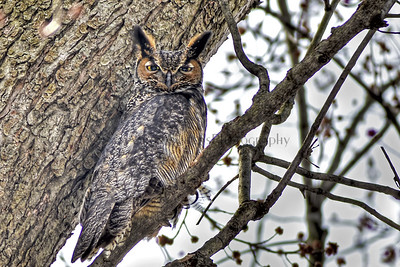 Under cover In The Open 2013  Great Horned Owl