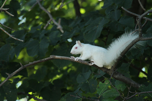 Albino Squirrel (Sciurus carolinensis)