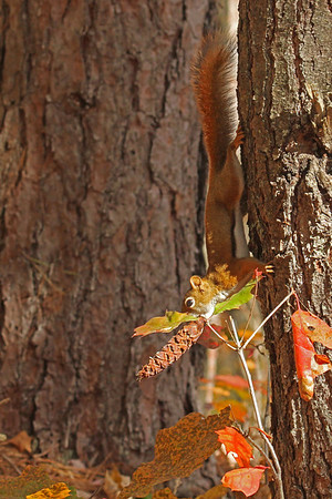 Red Squirrel With Pine Cone (Tamiasciurus hudsonicus)