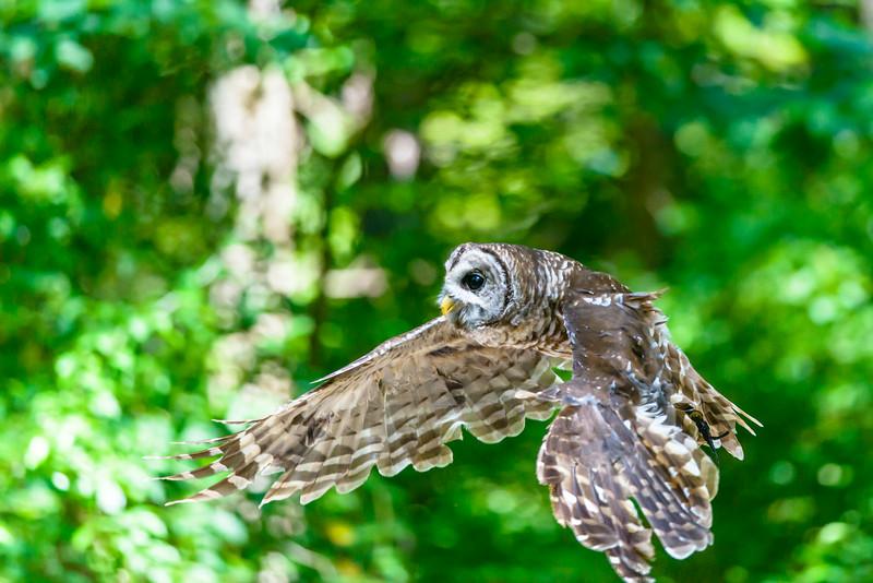 Barred Owl Flight