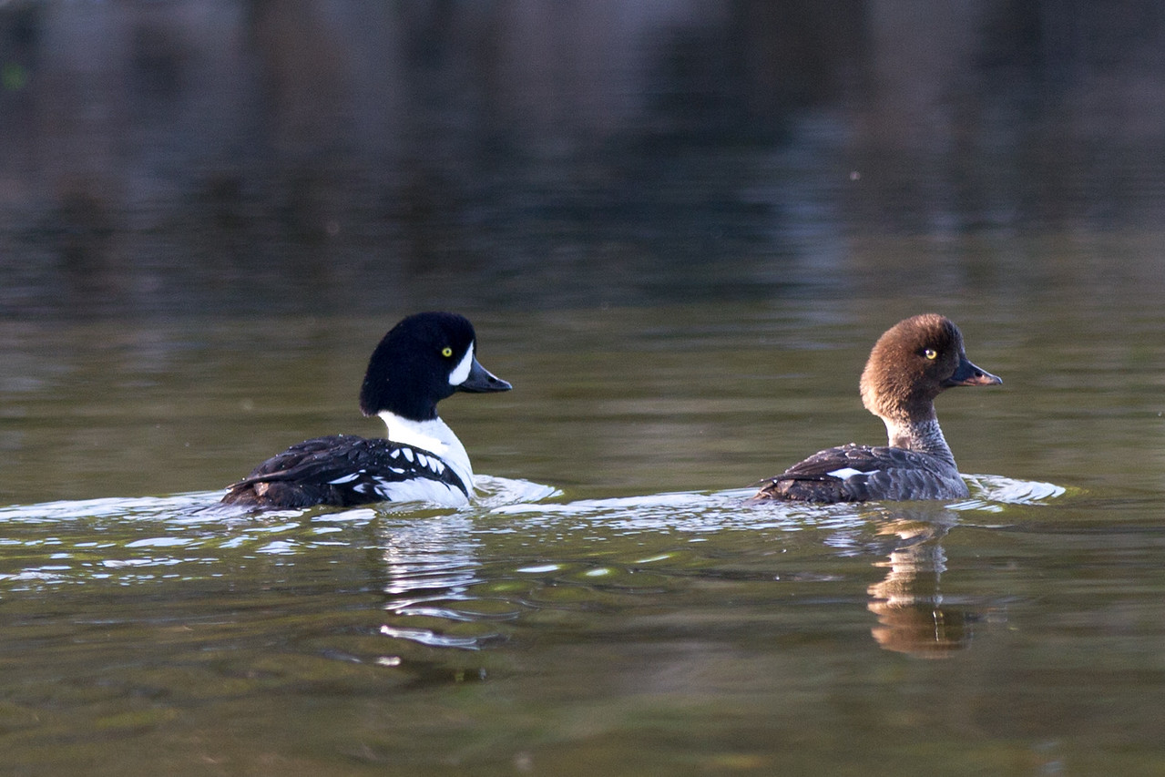 Duck, Barrows Goldeneye