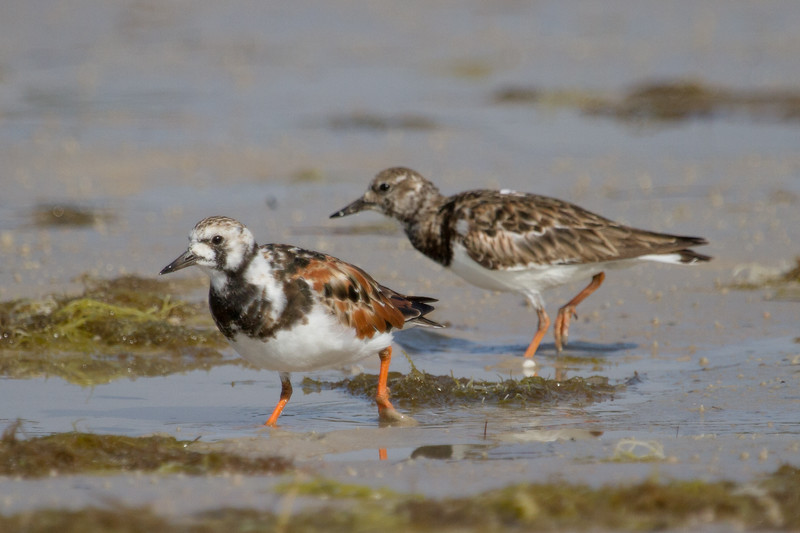 Turnstone, Ruddy