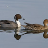 Duck, Pintail