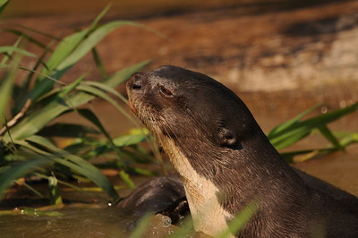 010_6458 Giant Otter, Pteronura brasiliensis