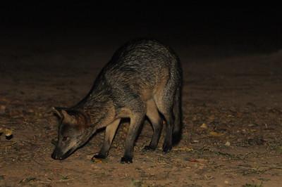 Crab_eating Fox. Pantanal Wildlife Center, Mato Grosso, Brasil.