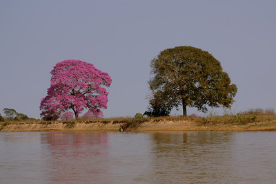 Pink Trumpet tree, Tabebuia impetiginosa