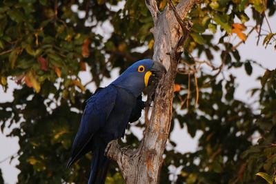 Hyacinth Macaw. Transpantaneira, Mato Grosso, Brasil.