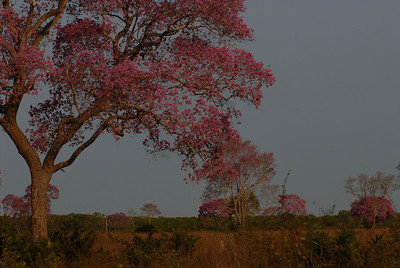 010_7649  Pink Trumpet tree, Tabebuia impetiginosa