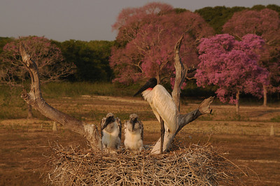 Jabiru nest. Pantanal Wildlife Center, Mato Grosso, Brasil.