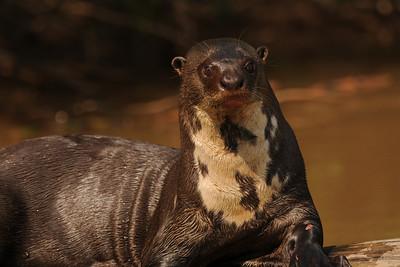 010_6456 Giant Otter, Pteronura brasiliensis