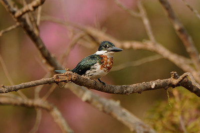 Amazon Kingfisher Male. Transpantaneira, Mato Grosso, Brasil.