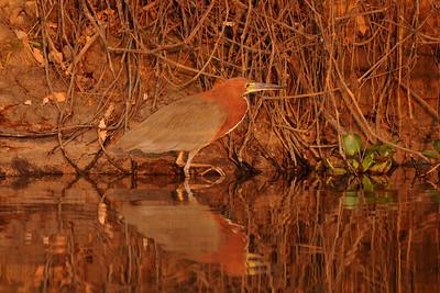010_6013 Rufecent, Tiger-Heron, Tigrisoma fasciatum