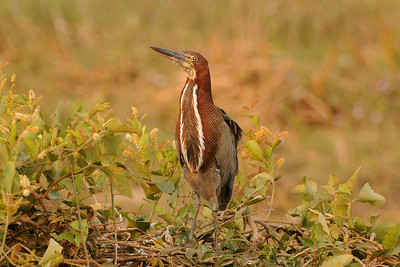 010_5632 Rufecent Tiger-Heron, Tigrisoma lineatum