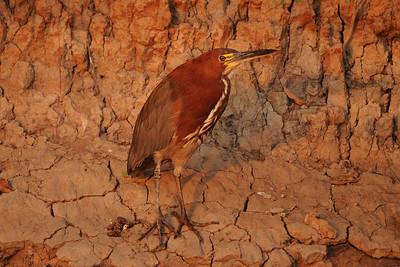 010_6009 Rufecent, Tiger-Heron, Tigrisoma fasciatum
