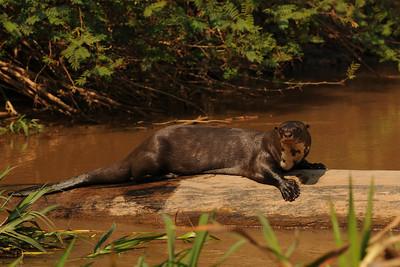 010_6461 Giant Otter, Pteronura brasiliensis