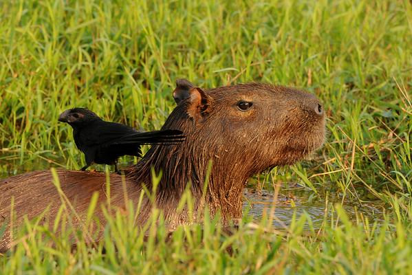 Capibara with Ani. Rio São Lourenço, Mato Grosso, Brasil.