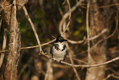 Amazon Kingfisher female. Rio Sararé, Mato Grosso, Brasil.