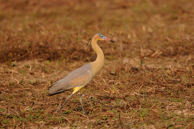 Whisling Heron Syrigma sibilatrix. Transpantaneira, Mato Grosso, Brasil.
