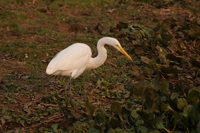 010_5619 Great Egret, Ardea alba