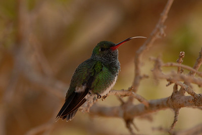 Versicoloured Emerald, Amazilia versicolour. Pantanal Wildlife Center, Mato Grosso, Brasil.