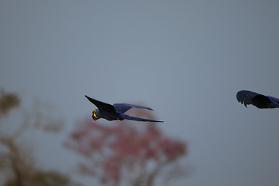 010_5536 Hyacinth Macaw
