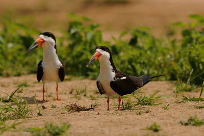 010_6363 Black Skimmer, Rynchops niger